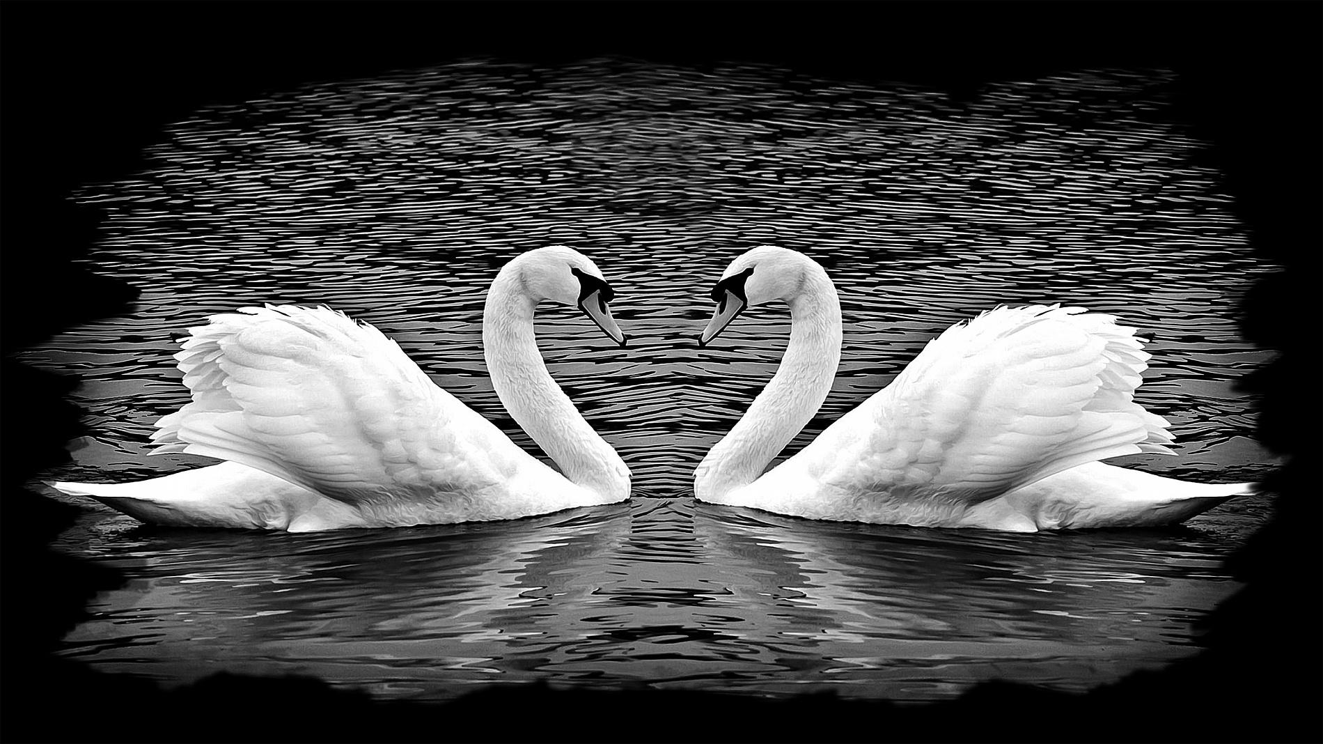 Два голубя черный и белый картинки